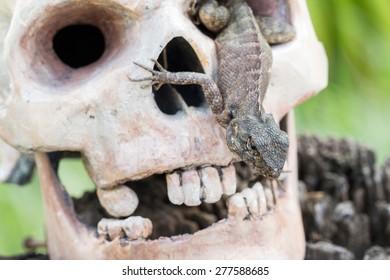 Lizard in the eye of human skull