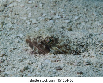 Lizard fish (Synodus saurus) head sticking up out of the sand.