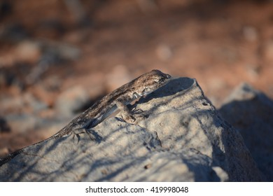 A lizard found in Southern Utah. Sunbathing on a rock as the sunsets.