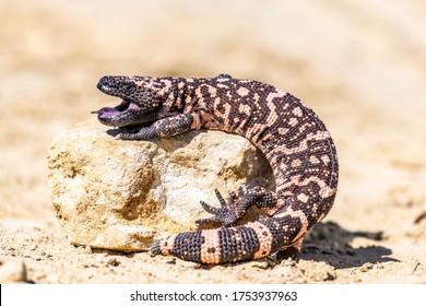 Lizard Gila Monster( Heloderma suspectum) north america.