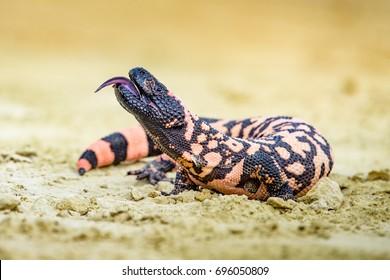 Lizard Gila Monster( Heloderma suspectum)