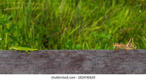 Lizard and Grasshopper at Everglades National Park