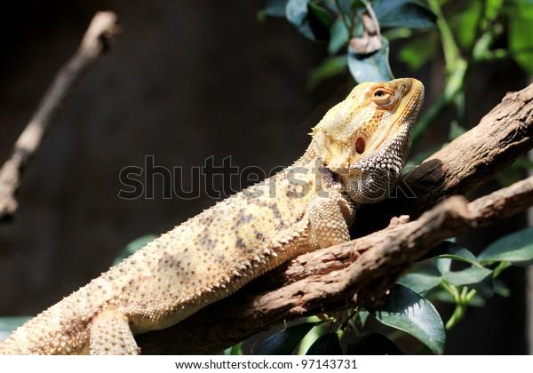 lizard hang on branch