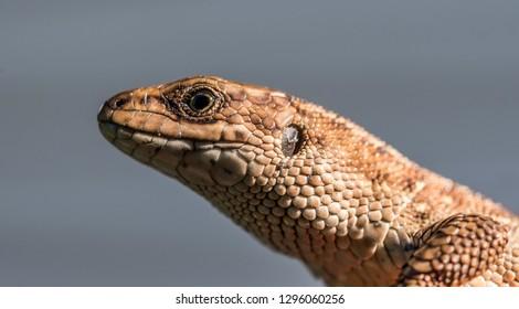 Lizard head close-up on grey sky background