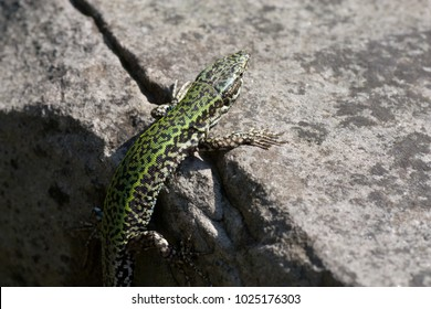 A lizard heating up on a rock