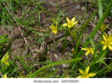 Lizard. A lizard hiding in the grass in spring. Green plants  and yellow flowers in spring. Very beautiful lizard. Brown green lizard hides in a young juicy grass.