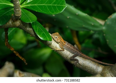 Lizard, Iguana, Gecko, Skink on the leaf.