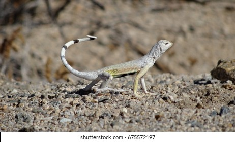 Lizard / Joshua Tree NP / California