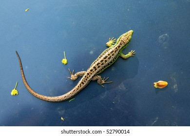 The lizard (Lacerta agilis) on blue background
