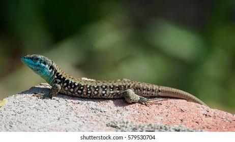 lizard Lacerta viridis