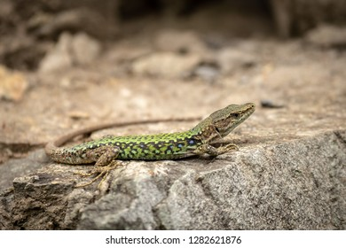 The lizard Lacerta viridis sits on a stone under the sun. Background lizard on stone close up. Background detailed image of a lizard.