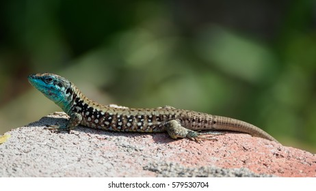 The lizard Lacerta viridis sits on a stone under the sun on a green background. Detailed image of a lizard.