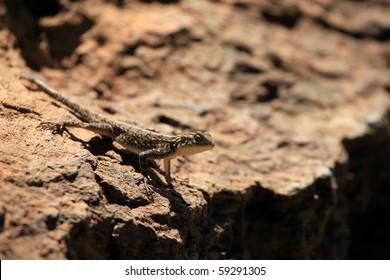 Lizard - Lake Nukuru National Park in Kenya, Africa