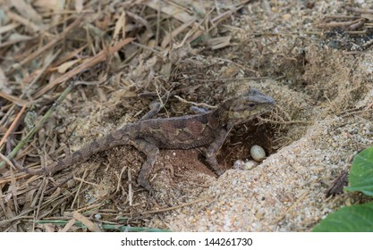 Lizard lay eggs.