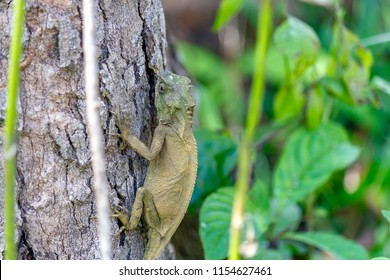 Lizard lays on a tree in the forest at Phuhinrongkla National Park , Phitsanulok, Thailand.