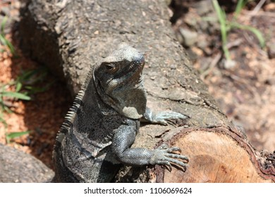 Lizard leaning against a fallen tree branch with fore legs showing and head upright