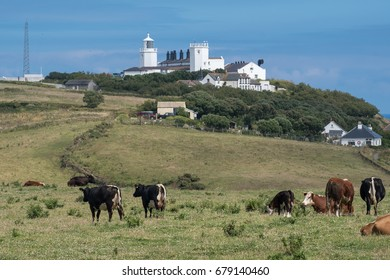 lizard lighthouse with cows in cornwall england uk.