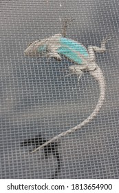 Lizard with long tail and turquoise belly stuck on inside of screen