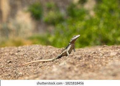Lizard with long-tail and head up  sunbathing on the rock in a beautiful position, Madagascar