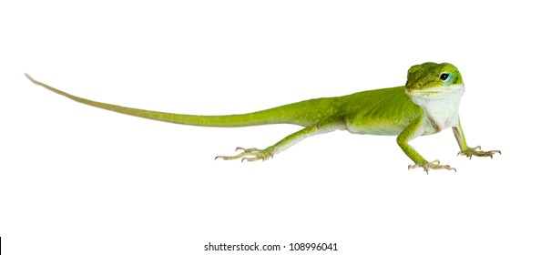 The lizard Northern Green Anole (Anolis carolinensis carolinensis) isolated on white background