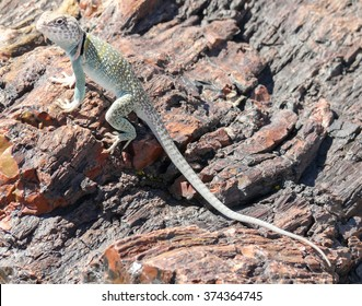 Lizard on fossils at Petrified Forest National Park in Arizona