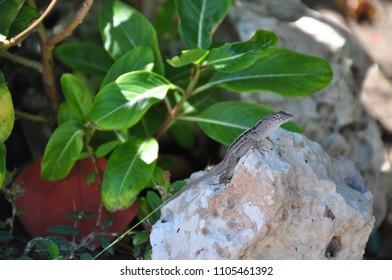 Lizard on a rock in Cuba.
