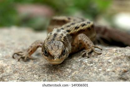 Lizard on the rocks unusual