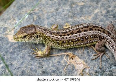 lizard on tfe rock
