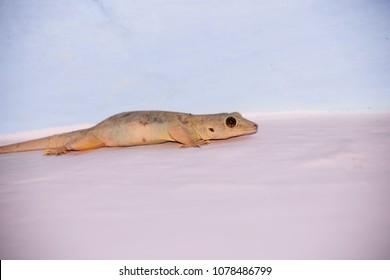 Lizard on wall close shot
