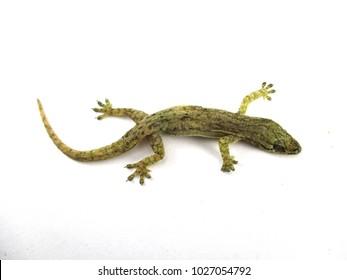 Lizard on white background