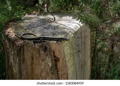 Lizard on a wood log