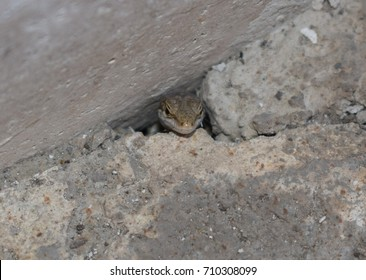 Lizard out hole in the ground