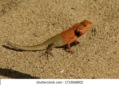 Lizard in the sand. Small tropical reptile. Nature animal. Lizard staying in the sand. Exotic predator. Wallpaper and background.