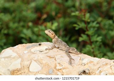 lizard sits on a big rock