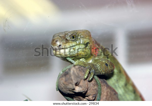 a lizard sits on a branch watching the world go by with the background out of focus