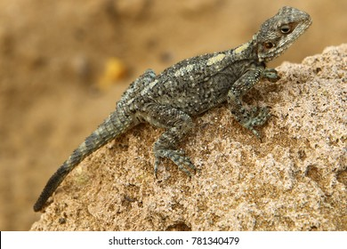 lizard sits on a rock and basks under the sun