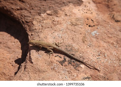Lizard sitting on red sandstone rock in Canyonlands National Park in Utah, USA.