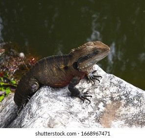 Lizard sitting on a rock in a Sydney NSW Australia Park on a sunny warm summer afternoon