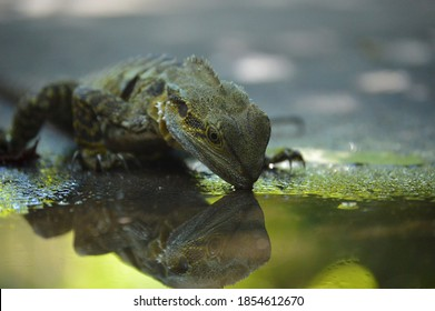 A lizard stops for a drink at a puddle