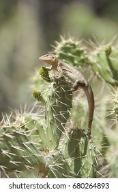 Lizard sunbathing on a cactus, green blurry background