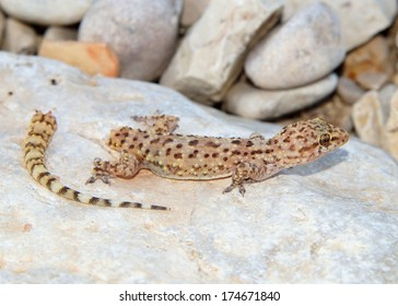 Lizard tail loss and regeneration - Mediterranean Gecko shortly after dropping its tail to avoid a predator