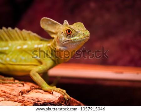 Lizard Terrarium Stock Photo Edit Now 1057915046 Shutterstock
