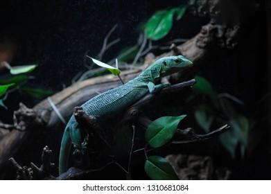 Lizard in the terrarium on branch of tree