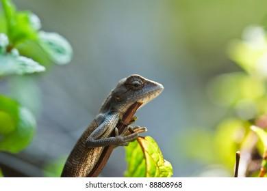 lizard ,thailand