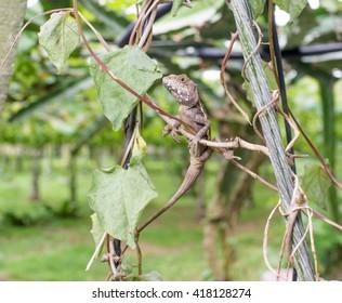 lizard in the vineyard - Shutterstock ID 418128274