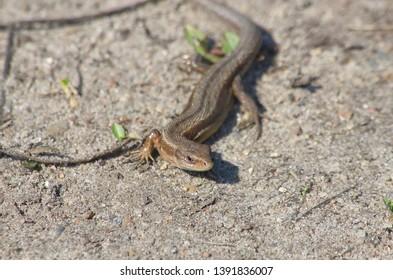 Lizard viviparous in early spring. Zootoca vivipara.