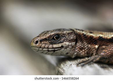 Lizard viviparous in the Moscow region in the summer is heated by the sun looks into the frame
