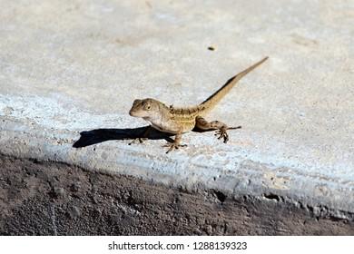 Lizard waiting to cross the street in Florida.