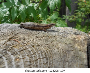 The lizard warms itself on the stump. Lizard viviparous (Zootoca vivipara).