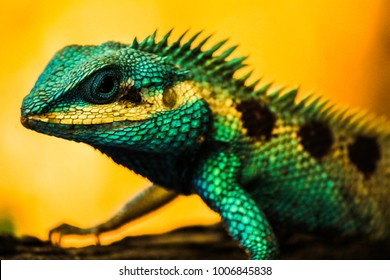 Lizard water dragon